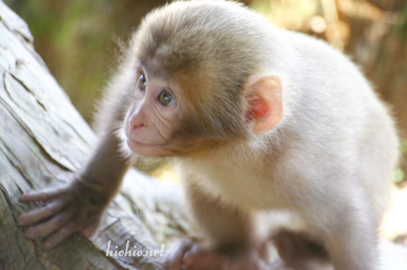 Iwateyama Monkey Park-Snow Monkeys.