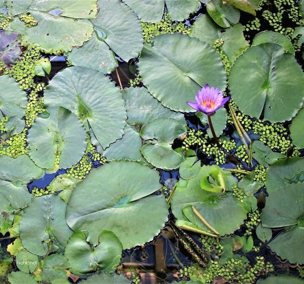 Water Lillie's pad.