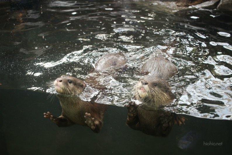 Kobe Animal Kingdom Japan (Japanese River otters).