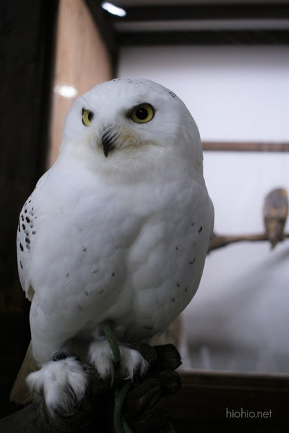 Kobe Animal Kingdom Japan (Snowy white owl).