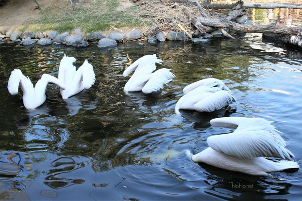 Kobe Animal Kingdom Japan (Great White Pelicans eating).