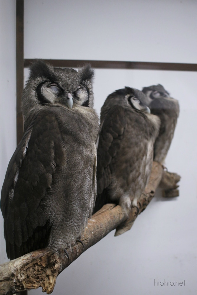 Kobe Animal Kingdom Japan (Eagle Owls).