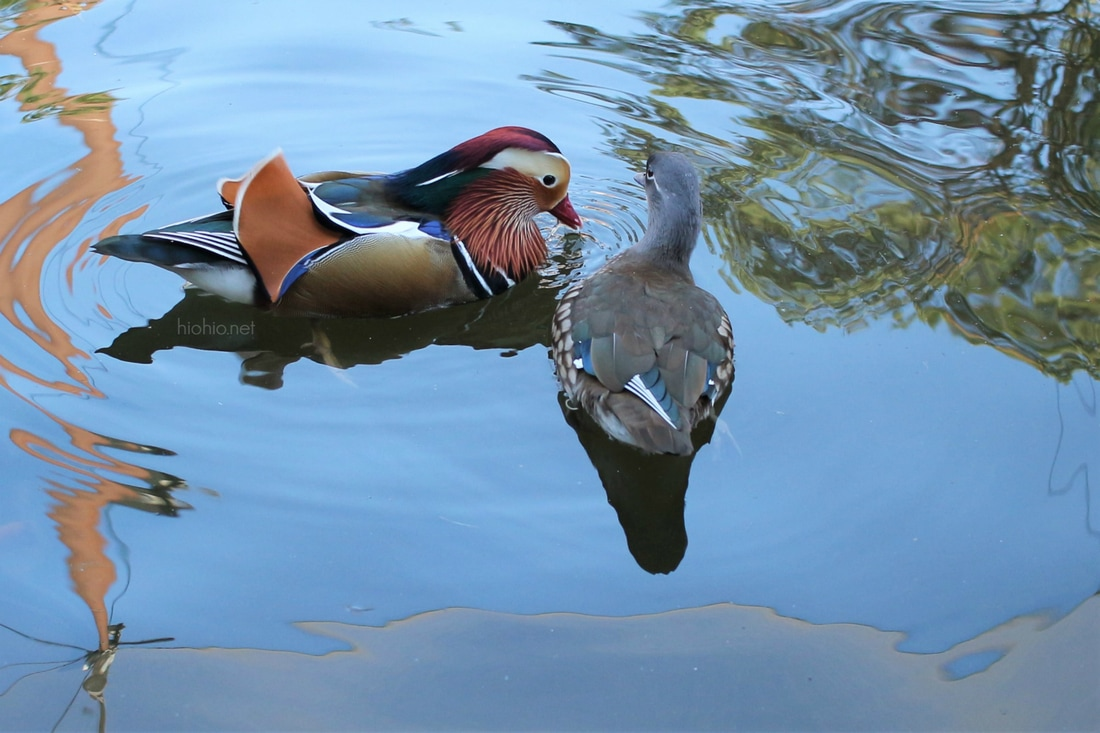 Kobe Animal Kingdom Japan (Aviary area- Mandarin Ducks).