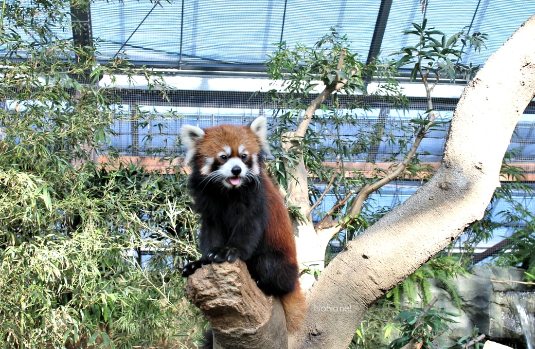 Kobe Animal Kingdom Japan (Red Panda).