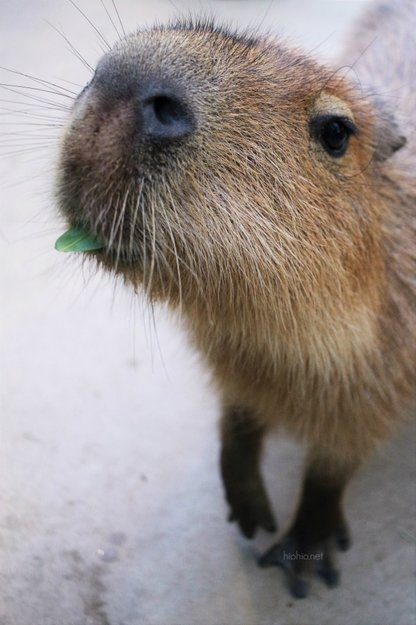 Kobe Animal Kingdom Japan (where you can feed the Capybaras).
