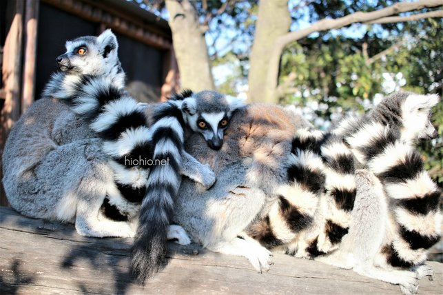 Kobe Animal Kingdom Japan visit (Ring Tailed Lemurs).